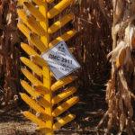 Оригінальні, якісні, доступні гібриди кукурудзи