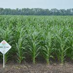 Двадцять перший гібрид кукурудзи Компанії Маїс в Республіці Білорусь