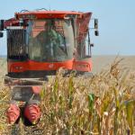 Вже зібрано 43% насіннєвого матеріалу кукурудзи