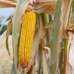 Нові гібриди кукурудзи для інтенсивного вирощування