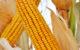 Як запобігти негативним явищам посухи при вирощуванні кукурудзи